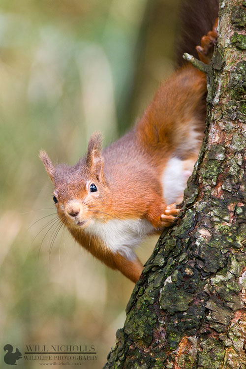 Photographing the Endangered European Red Squirrel 739915 447143838674619 155412331 o