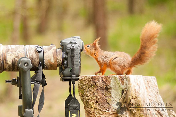 Photographing the Endangered European Red Squirrel 8437 514706368585032 100272088 n