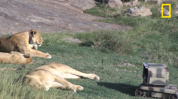 Photographing Serengeti Lions Up Close Using Infrared, Robots and Drones lionpic