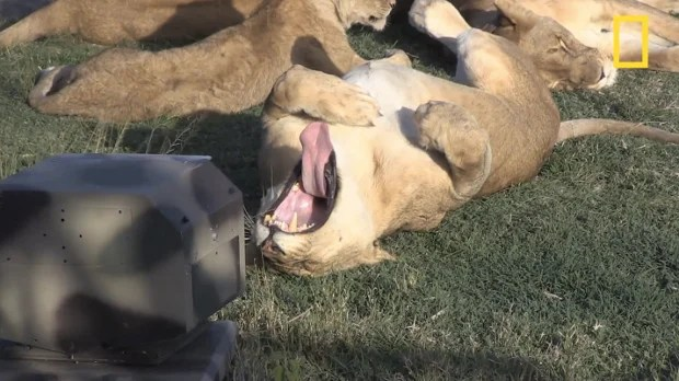 Photographing Serengeti Lions Up Close Using Infrared, Robots and Drones lionpic1