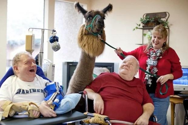 Heartwarming Photos of Therapy Llamas Interacting with Patients at a Hospital llamalove1