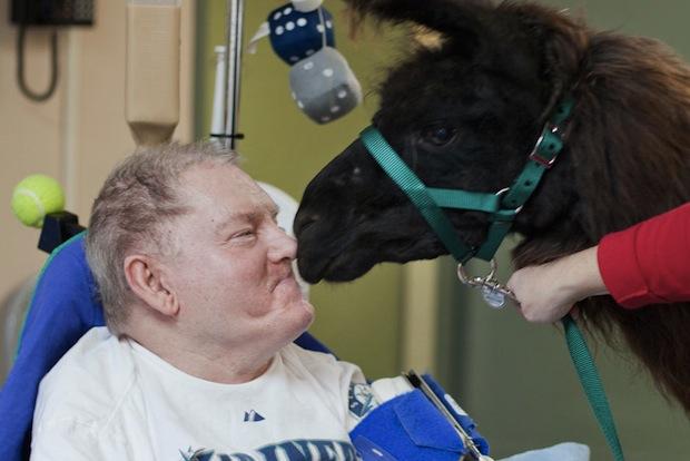 Heartwarming Photos of Therapy Llamas Interacting with Patients at a Hospital llamalove10