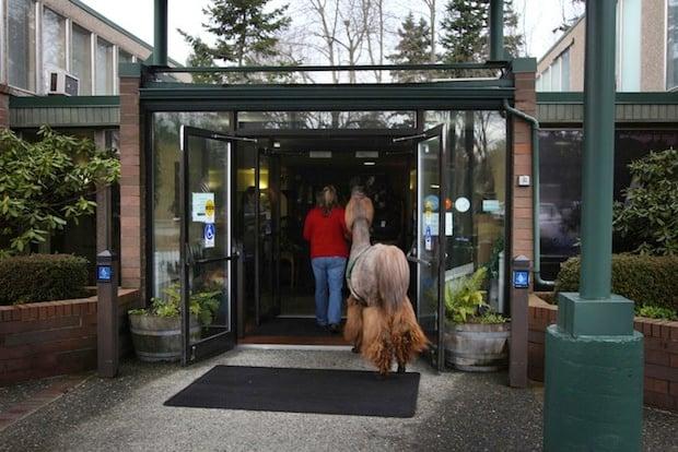 Heartwarming Photos of Therapy Llamas Interacting with Patients at a Hospital llamalove3