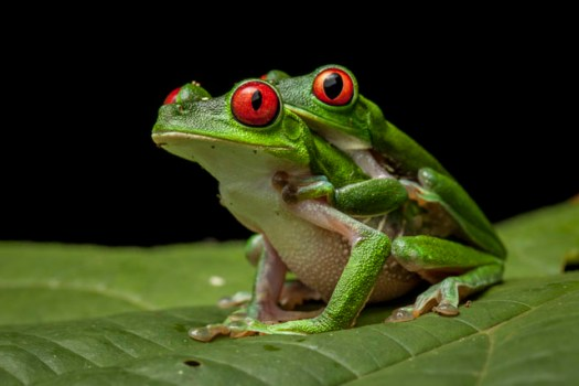 Red-eyed Treefrogs, Agalychnis calidryas, in amplexus in the Osa Peninsula.