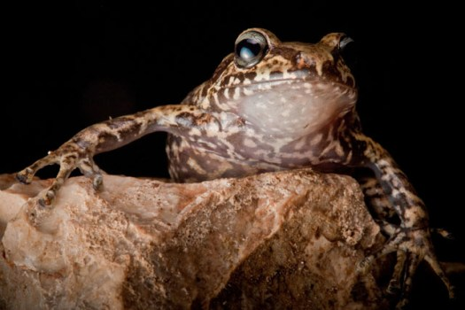 La Hotte Glanded Frog, Eleutherodactylus glandulifer, a critically endangered species on the Massif de la Hotte. Rediscovered after almost 20 years in 2010.