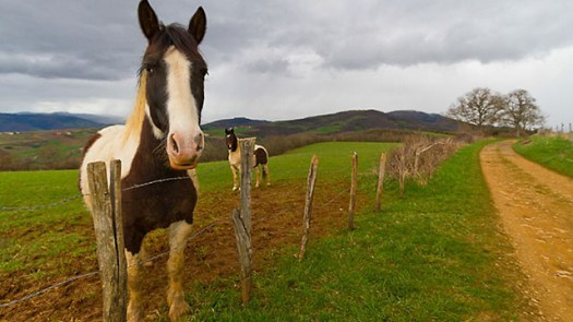Horses in a meadow, Beaujolais, France.