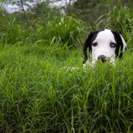 """Apollo hiding in the tall grass like a lion waiting for his prey... only slower, whiter , clumsier, cuter and lovable..."""