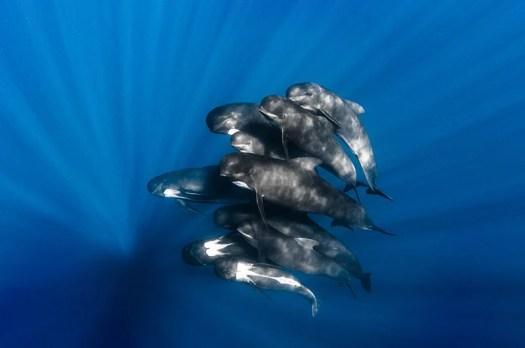 """Pilot Whales."" Greg Lecoeur/UPY 2016"