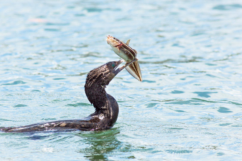 Little Black Cormorant (Phalacrocorax sulcirostris) vs Striped Eel Catfish (Plotosus lineatus)