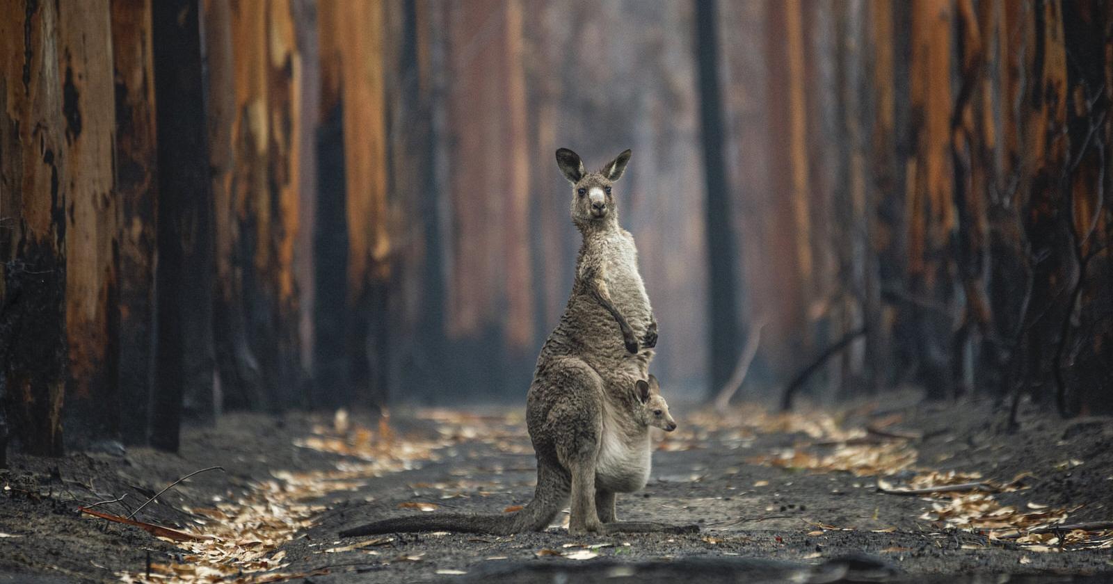 La foto del canguro in una foresta bruciata vince il concorso BigPicture 2021