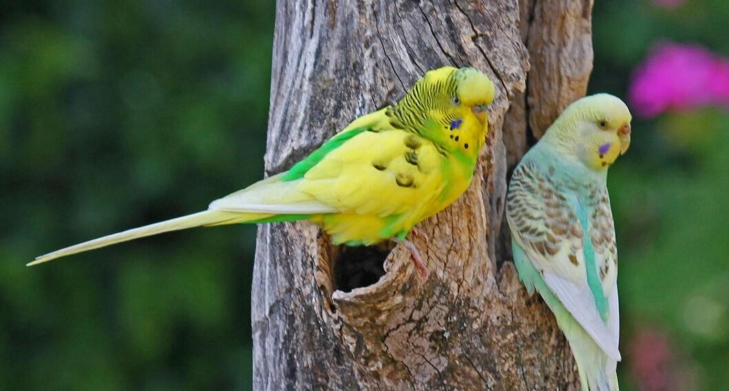 Muhabbet kuşu isimleri