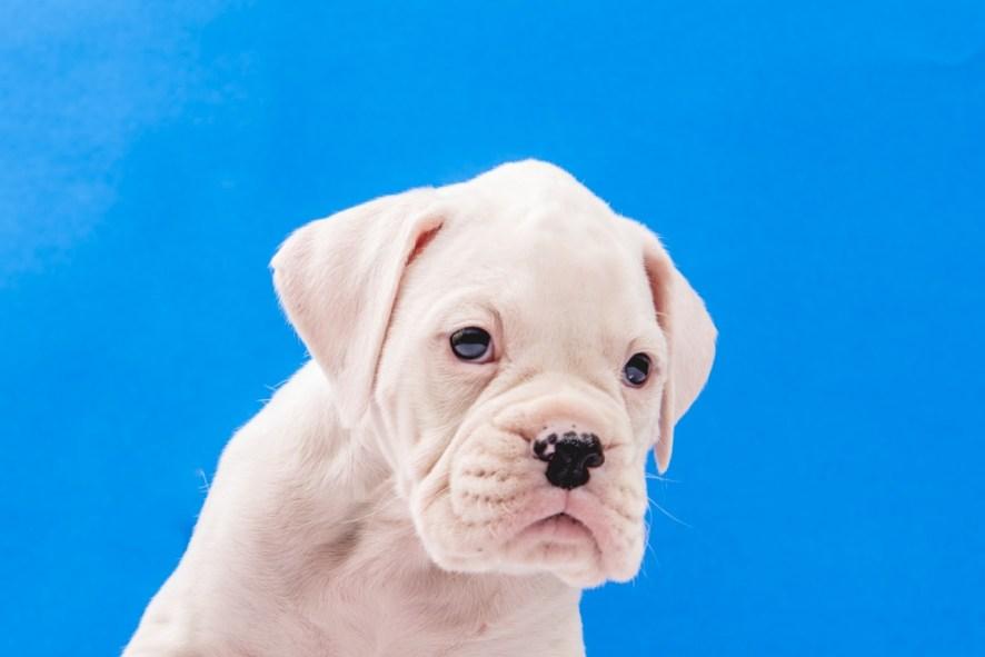 boxer branco filhote