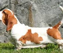 basset hound bicolor