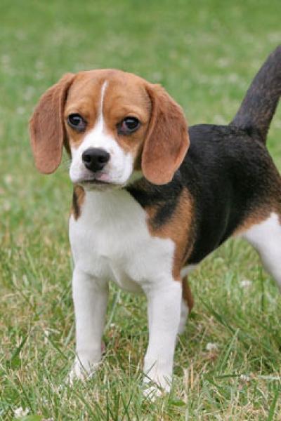 beagle-tricolor