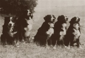 bernese historia do cachorro