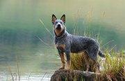 Blue Heeler - Boiadeiro Australiano