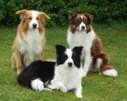 Cachorro Border Collie
