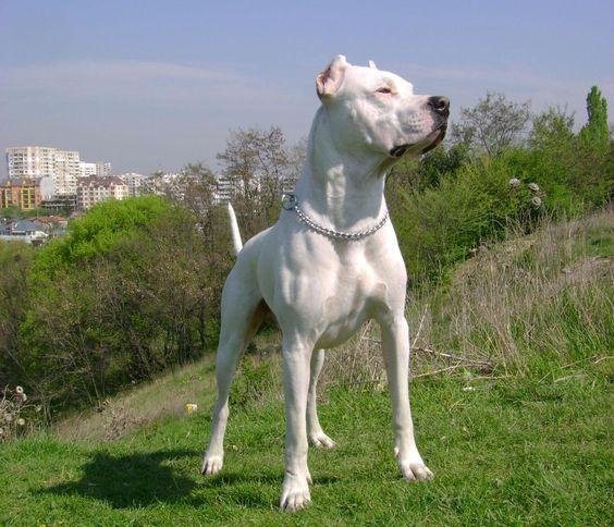 Dogo Argentino branco