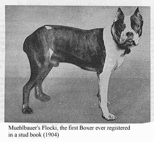 Primeiro cachorro boxer registrado