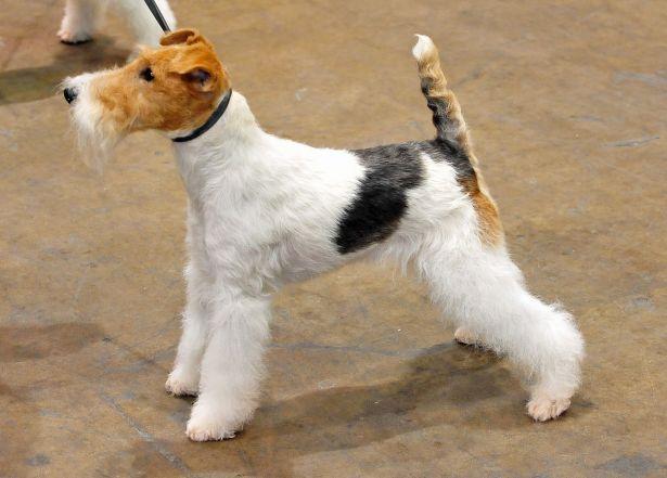 cachorro fox terrier