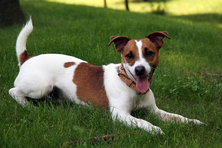 jack russel canil SP