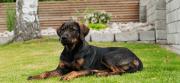 Cachorro Vira Lata   Cães sem Raça Definida