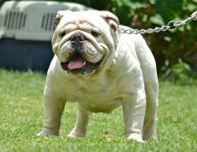 bulldog ingles atualmente