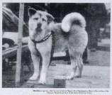 akita cachorro