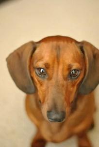 daschund caramelo cachorro salsicha