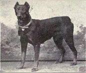 Dobermann cachorro historia