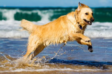 Golden Retriever na agua