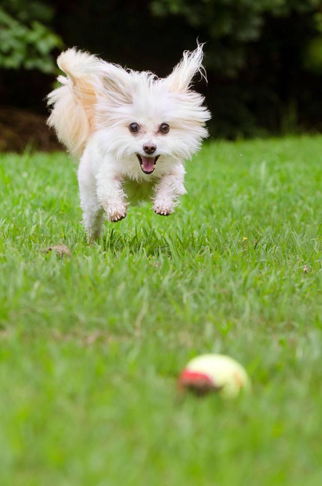 maltes cachorro mini