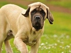 mastiff ingles cachorro filhote