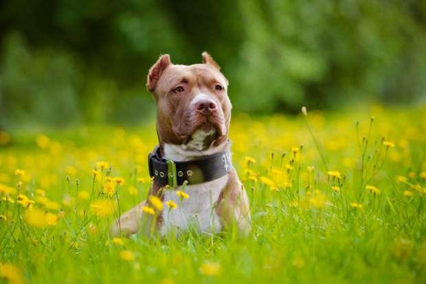 Pit bull cachorro
