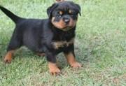 Cachorro Rottweiler | Informações sobre a Raça e Filhotes