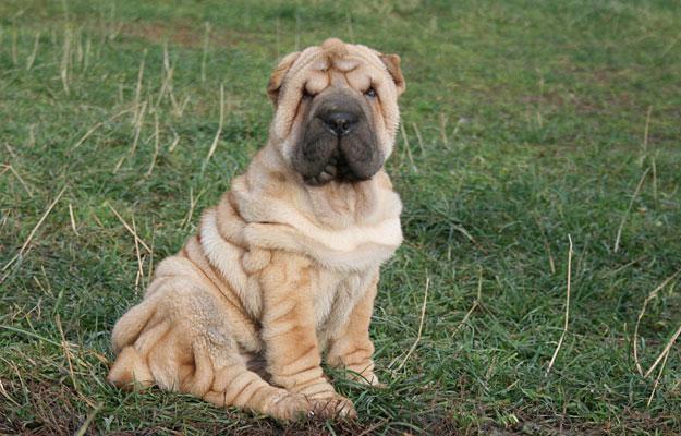 shar pei cachorro atual