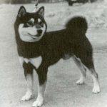 Shiba Inu, foto de 1945