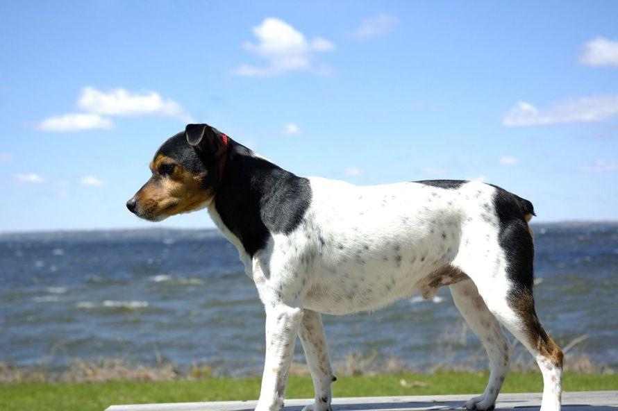 parvovirose canina
