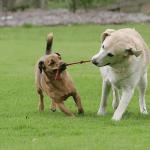 acostumar cachorros com outro