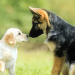 como acostumar um cachorro com outro