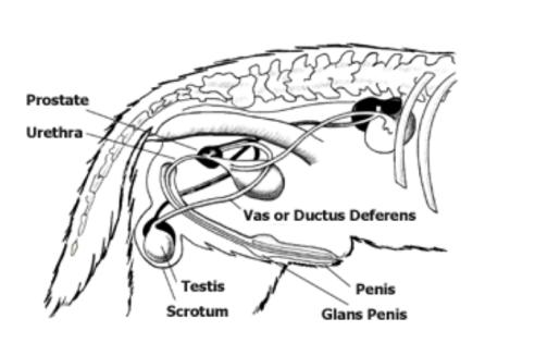 Sistema reprodutor do cachorro