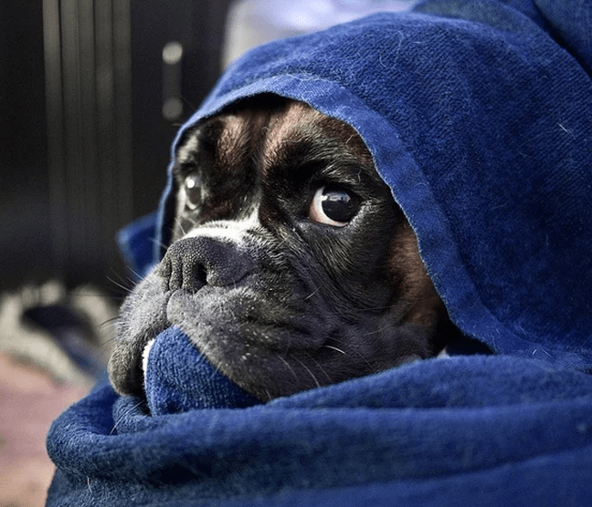 boxer triste