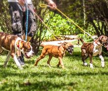 boxer cachorro passeando