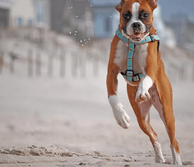 boxer caramelo cachorro