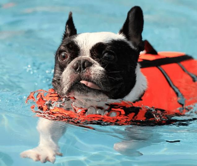 bulldog frances nadando