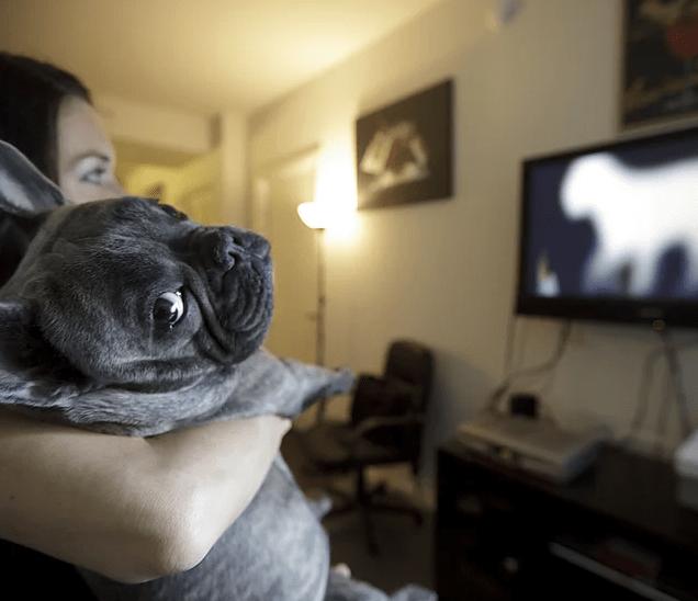 bulldog frances assiste TV