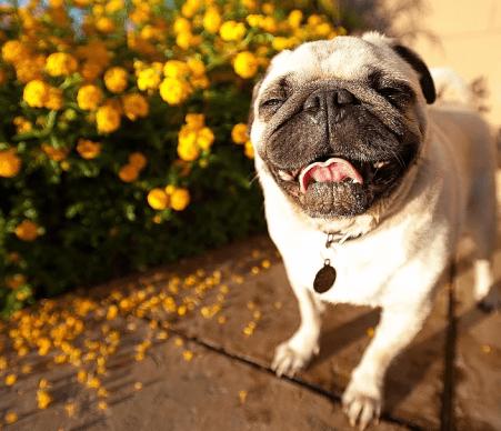 Pugs cachorro lindo