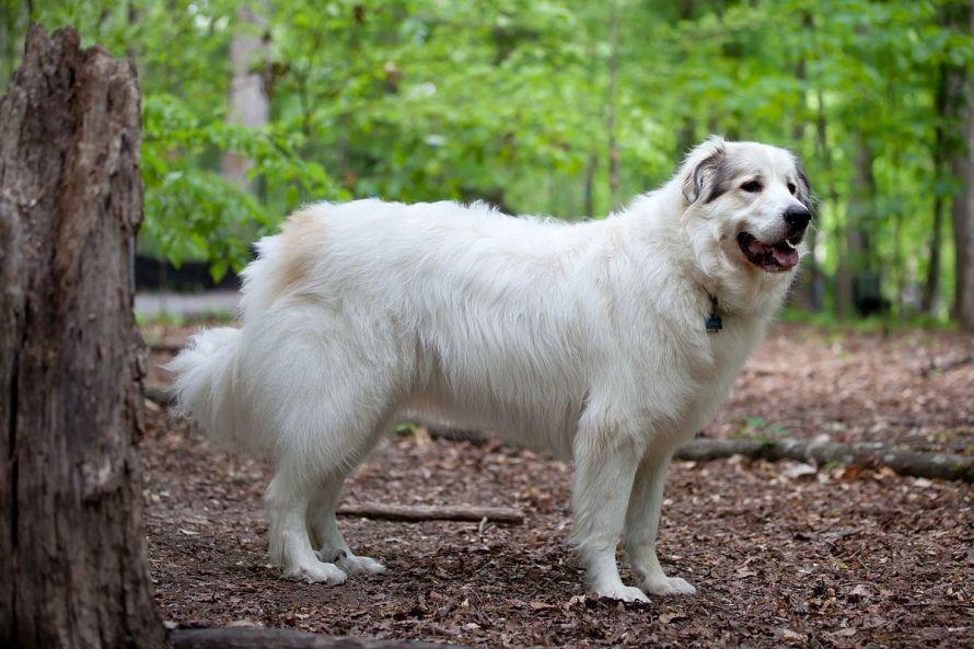 Cão de montanha dos Pirenéus