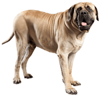 mastiff ingles