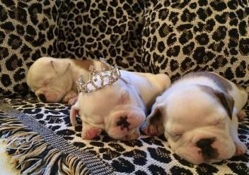 bulldog filhotes ingles